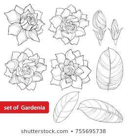 Vector Round Bouquet Outline Gardenia Flower Temaju Stockvektorkep Jogdijmentes 1045166785 In 2020 Gardenia Tattoo Flower Drawing Gardenia