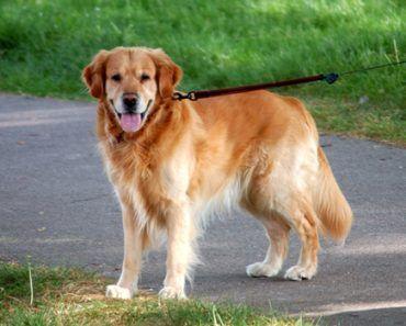 Golden Retriever Puppy Training Tips Potty Train Crate Tricks