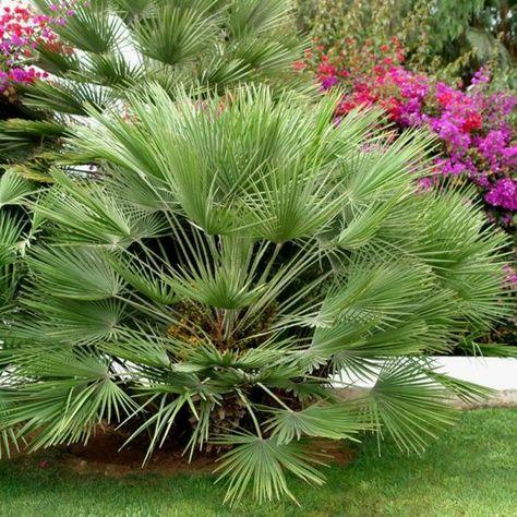 Palmier Nain Palmier Nain Arbre Exotique Palmiers
