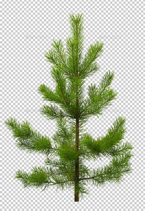 Pine - Nature & Animals Isolated Objects