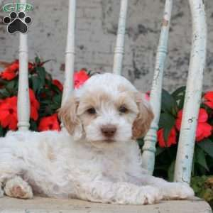Cockapoo Puppies For Sale Cockapoo Dog Breed Info Cockapoo Puppies Puppies For Sale Cockapoo Puppies For Sale