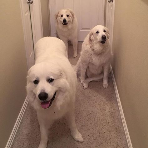 dogsintx #Ben #Isabel and #Maggie are...
