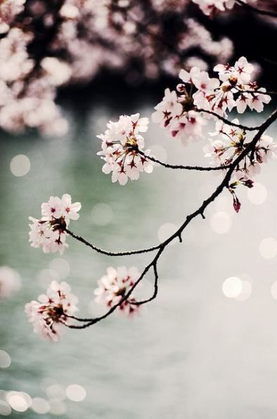 51 Ideas For Fruit Tree Tattoo Cherry Blossoms Blossom Tree Tattoo Cherry Blossom Tree Tattoo Tree Tattoo Color