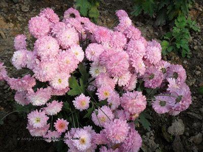 Chondro Mollika Chrysanthemum Chrysanthemum Chandra Plants