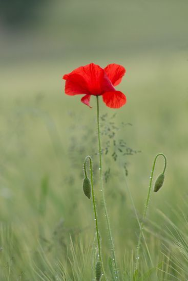 Mohnblume Mohnblume The Post Mohnblume Appeared First On Ideas Flowers Poppies Beautiful Flowers Flower Quotes
