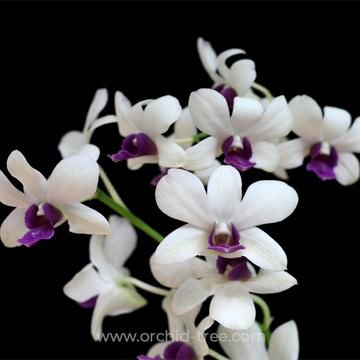 Dendrobium Wooleng Orchids Orchid Plants Cattleya Orchid