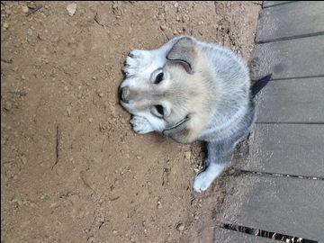 Litter Of 2 Wolf Hybrid Puppies For Sale In Medon Tn Adn 46421