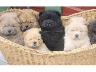 Chow Chow Puppy For Free Adoption Now Watsaap 971581812652