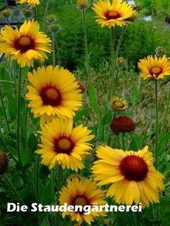 25+ bästa Kokardenblume idéerna på Pinterest | Sonnenhut pflanze ...