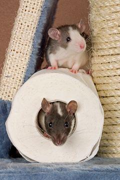 Pin Von Kati Helms Auf Sweeeet Rats In 2020 Mit Bildern Ratte Haustier Susse Tiere Susseste Haustiere