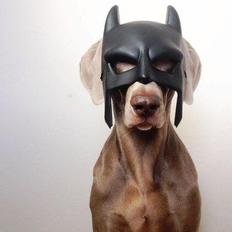 Batman Weimaraner Puppy Dogs Halloween Costume
