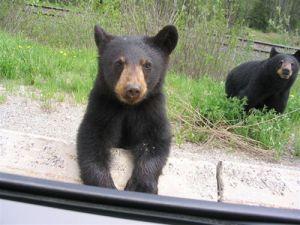 Wildlife on Highways: Be Bear Aware