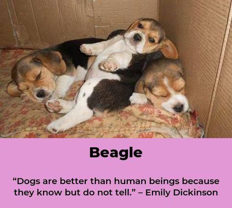 Beagle Puppies Beaglelife Beagles Names Beagle Puppy Beagle