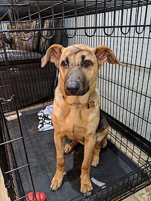 Chicago Il German Shepherd Dog Meet Rosie A Pet For Adoption Yorkiepuppyforadoption German Shepherd Dogs Dogs German Shepherd