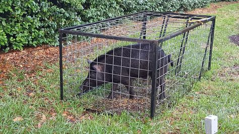 Feral pig caught in my yard...alive