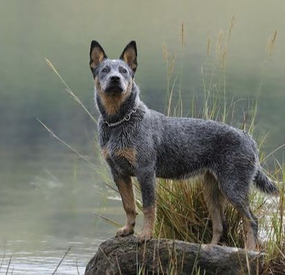 1 In 3 Pets Will Become Lost During Their Lifetime Many Find Their Way Back But Others Don T Blue Heeler Dogs Austrailian Cattle Dog Dog Breeds