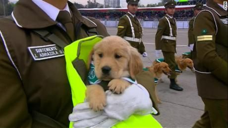 Nine Golden Retriever Puppies Are The Newest Members Of The