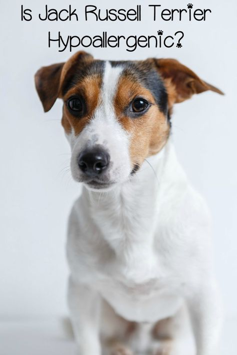 Are Jack Russell Hypoallergenic dogs? That depends on your allergies! Read our complete guide & discover this dog's breeds traits, temperament & much more. Find out if it is the right dog for you. Airedale Terrier, Pitbull Terrier, Terrier Mix, Rat Terriers, Fox Terrier, Perros Jack Russell, Chien Jack Russel, Jack Russell Terriers, Jack Russell Mix
