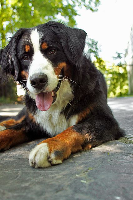 bernese mountain dog - dawww. That's how happy I look lying on concrete in the sunshine, too :)