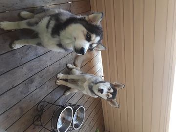 Siberian Husky Puppy For Sale In Stafford Va Adn 68675 On