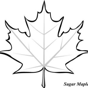 Maple Leaf Sugar Maple Leaf Picture Coloring Page Sugar Maple