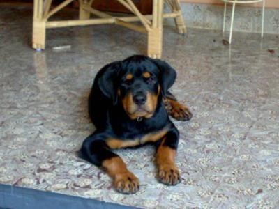 Khumo 4month Old Rottie Rottie Rottweiler Large Dog Breeds