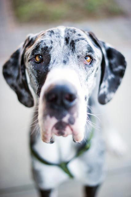 Dog Ready For Adoption Great Dane Named Fitz In Huntersville Nc