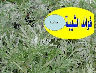 فوائد نبات الشيبة العلاجية Plants Blog Posts Blog