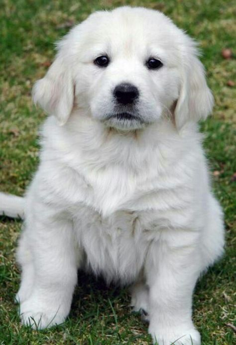 White Golden Retriever Looks Just Like Dallas Did Chunky