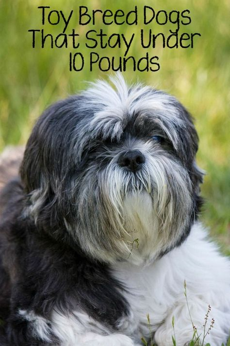 5 Best Toy Breed Dogs That Stay Under 10 Pounds:Toy breed dogs are the perfect pets for any family living in small space or for anyone who doesn't like the idea of a large dog running around and knocking things over. Toy breed dogs have personalities ranging from doting to stand-offish, so it's important to choose the right one for your family.