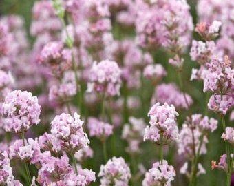 Lavandula angustifolia Ellagance snow white lavender 100 seeds
