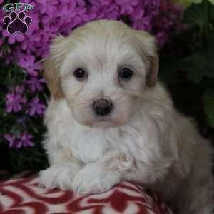 Maltipoo Puppies For Sale Maltipoo Breed Profile Maltipoo Puppies For Sale Puppies Greenfield Puppies