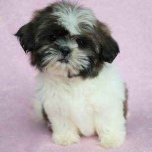 Maggie Shih Tzu Puppy Shih Tzu Puppy Puppies For Sale Shih Tzu