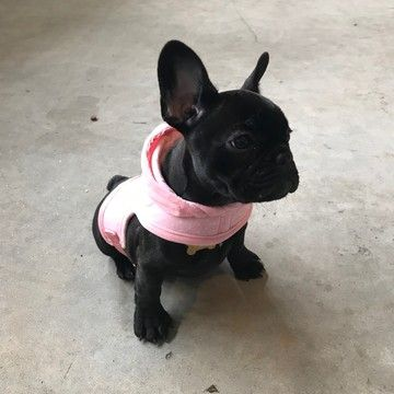 French Bulldog Puppy For Sale In Brooklyn Ny Adn 72133 On