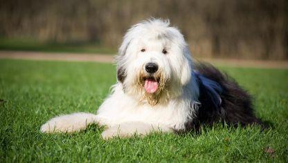 Bobtail Antiguo Perro Pastor Ingles Razas De Perros Ovejero