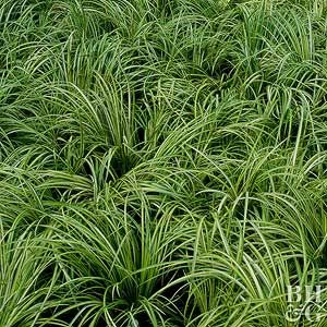 Sweet Flag The Subtle Sweet Smell And Flavor Of This Grasslike Plant Has Long Been Prized For Making A Soothing Sweet Tea The Sligh Perennials Plants Acorus