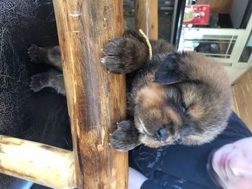Litter Of 10 Tibetan Mastiff Puppies For Sale In Sheffield Lake