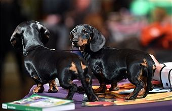 A Pair Of Smooth Haired Miniature Dachshunds During Day One Of