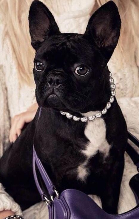 lady gaga s french bulldog princess minifrenchbulldog french bulldog puppies french bulldog frenchie pug