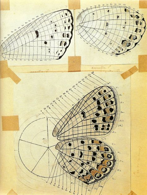 Vladamir Nabokov's system developed to map patterns on butterfly wings.  Drawing of a heavily spotted Melissa Blue.