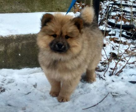 Litter Of 3 Chow Chow Pomeranian Mix Puppies For Sale In Silver Spring Md Adn 59013 On Puppyfinder Com Pomeranian Mix Puppies Pomeranian Mix Pomeranian Puppy