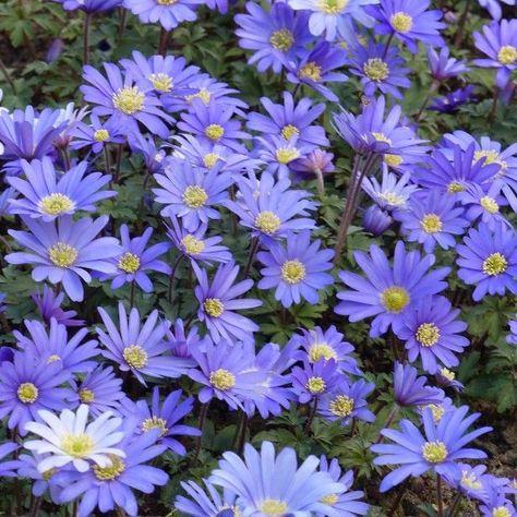 Anemone Blanda Blue Shades Anemone De Grece Bulbe A Fleurs