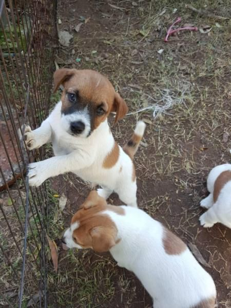 Purebred Jack Russell Terriers Jack Russell Jack Russell Terrier Russell Terrier