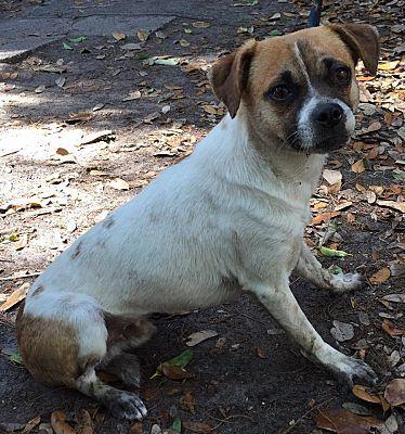 Orlando Fl Chihuahua Meet Lucky A Pet For Adoption Pet Adoption Dog Adoption Animal Rescue