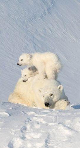 Polarbearfamily Animals Wild Baby Polar Bears Polar Bear