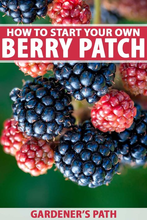 When it comes to tasty fruit, a fresh-picked berry tops the list. Continue reading to learn about how to start your own berry patch, here on Gardener's Path. Fruit Garden, Edible Garden, Strawberry Garden, Gardening For Beginners, Gardening Tips, Container Gardening, Growing Vegetables, Perennial Vegetables, Organic Gardening