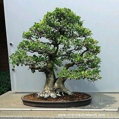 Bonsai Escuela De Bonsai Online Bonsaiprimerospasos árbol Bonsai De Interior Bonsai Plantas Bonsai