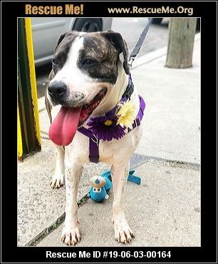 New Jersey American Bulldog Rescue Adoptions Rescue Me American Bulldog Rescue American Bulldog Dog Friends
