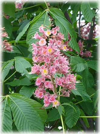 Oneill red horse chestnut tree google search it is too hot for oneill red horse chestnut tree google search it is too hot for me here to grow it in southern california whats your experience regarding hu mightylinksfo