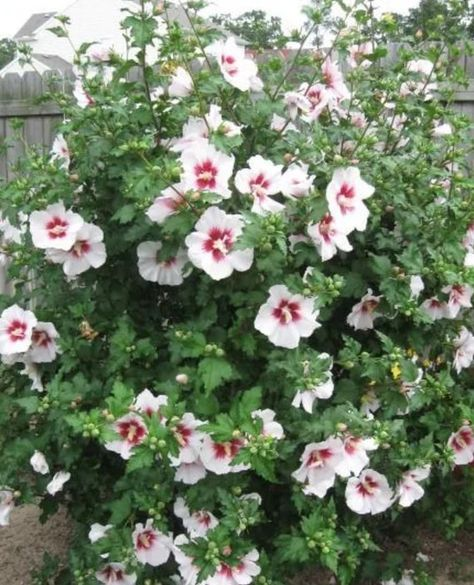 4 Rose Of Sharon Braided Trees Mix Of Colors 1 Year Old Free